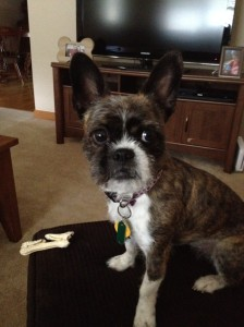 Boston terrier shih-tzu mix